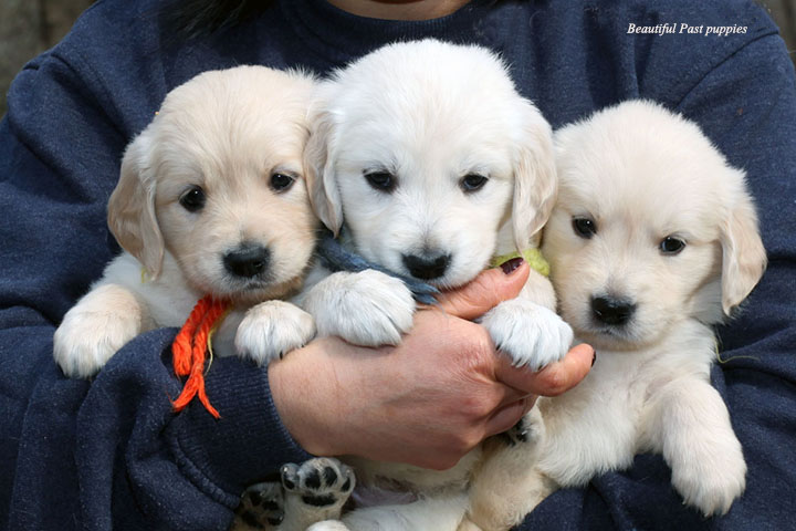 Golden Retriever Breeders In Ma BebeHollywood past puppy