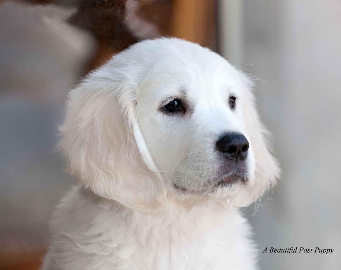 White English Cream Golden Retriever Pups Flazcamatxnjnypact