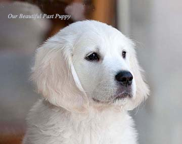White Golden Retriever Puppiesenglishcreamakc Certifiedholistic