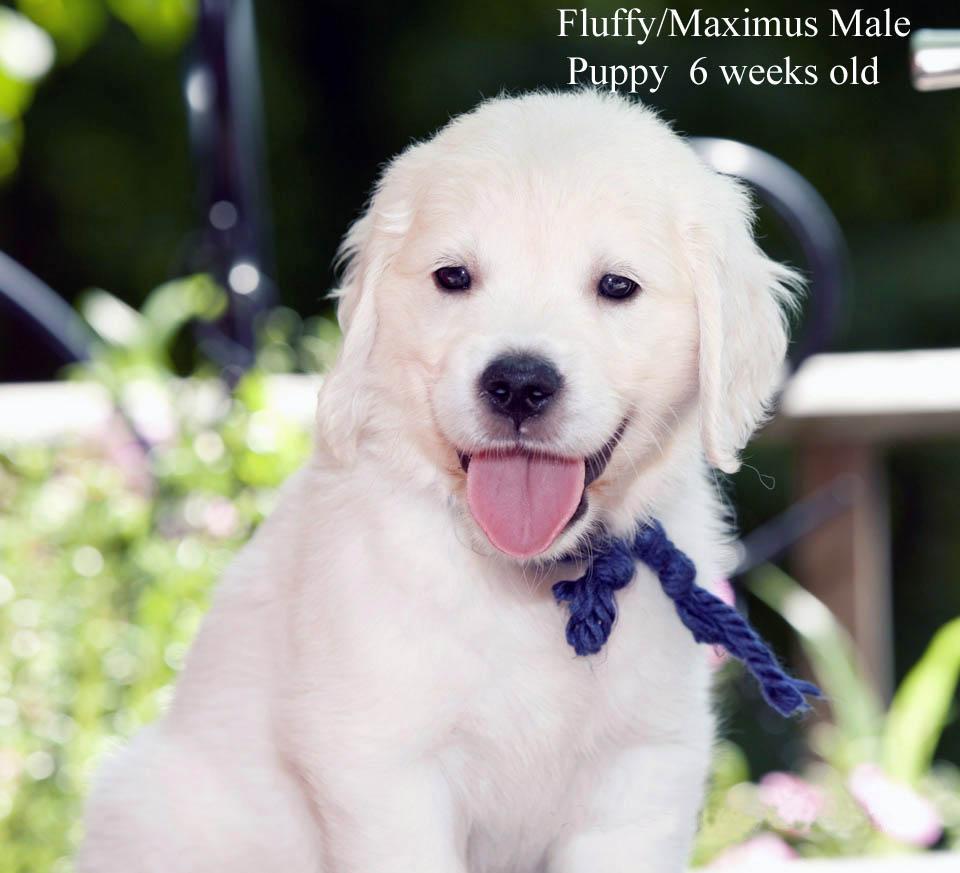 White Golden Retriever Puppies English Cream Akc