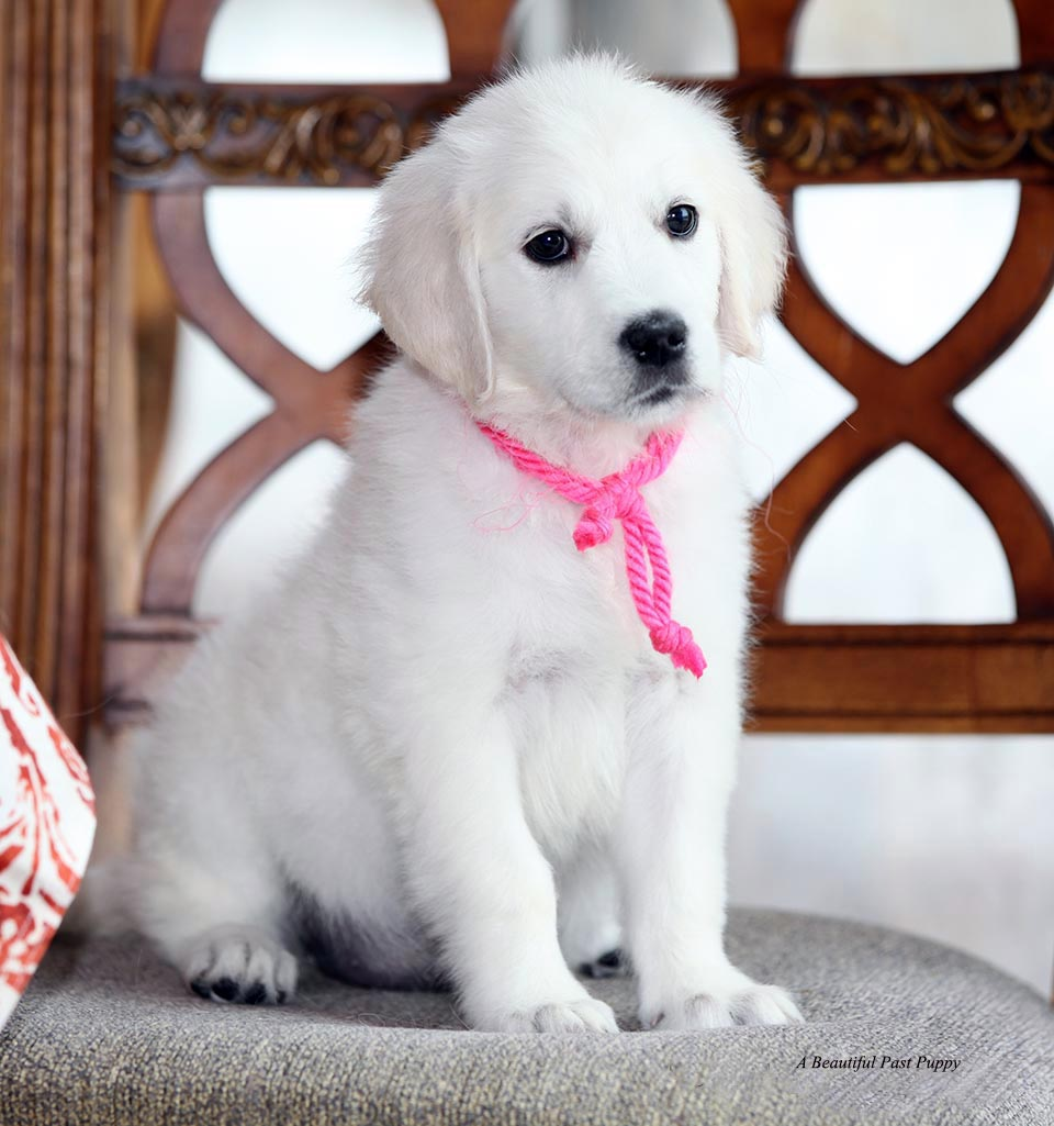 White Golden Retriever Pupsenglishakc Certifiedholistic Breeder